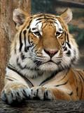 Fototapeta kotów - zwierzę - Dziki Ssak