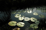 india, kerala: water lily poster