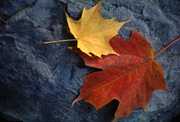 autumn leaves;  yellow and red-orange on grey rock