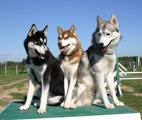 trio de huskys