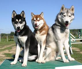 huskys par trois