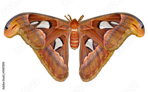 Animal_consume : night Atlas moth (Attacus) isolated on white background.