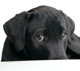 shy puppy poster
