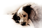 springer spaniel pup poster