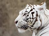 Fototapeta biały - zwierzęta - Dziki Ssak