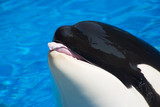 killer whale is having fun poster