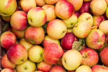harvest time for apples