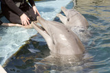 two bottlenose dolphins poster