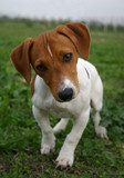 chiot jack russel poster