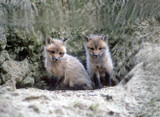 red fox kits poster