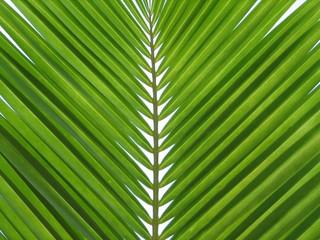 feuille de cocotier
