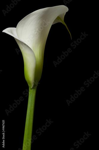 Leinwandbild Motiv calla lily 14