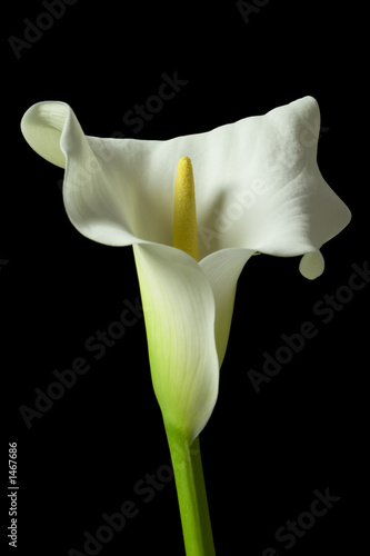 Leinwandbild Motiv calla lily 17
