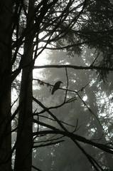 forset raven