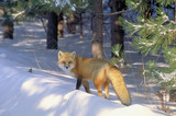 red fox in golden light poster