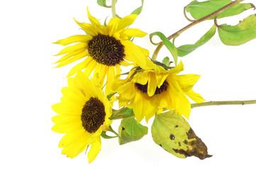 sunflowers #4