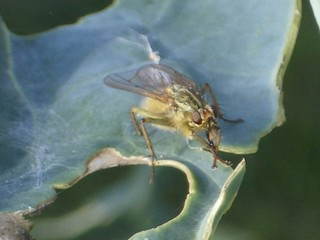 fly resting on a nibbled leaf