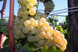 light shining on chardonnay grapes poster