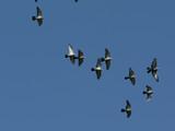 flock of pigeons in flight poster