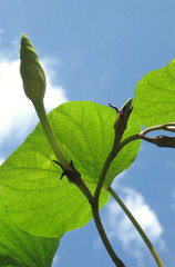 moonflower buds, vine, sky
