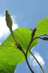 moonflower buds, vine, sky