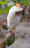 cotton poster
