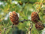 cones of larch poster