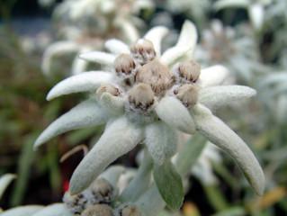 edelweiss flower1