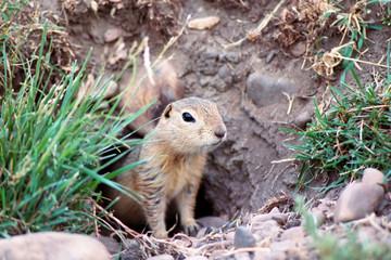 prairies dog 1