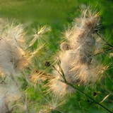 fluffty thistle blow-balls poster