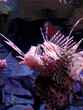 scorpion-fish   sea fish