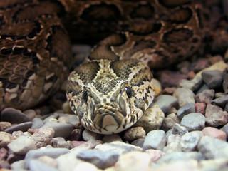 serpent   snake   asp