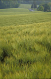 august wheat poster