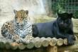 deux jaguars