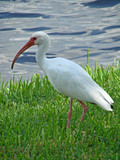 ibis by the lake poster