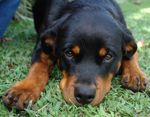 rottweiler puppy closeup