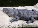 alligator on the rocks poster