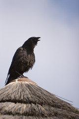 calling raven or crow thats black color