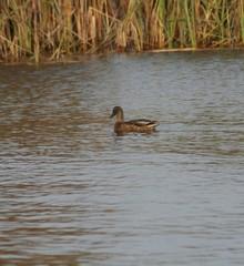 duck in lough
