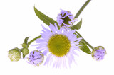 violet wildflowers poster