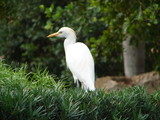 cattle egret in the grass poster