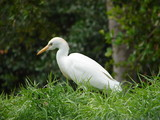 cattle egret on the move poster