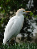 cattle egret plumage poster