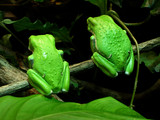 twin tree frogs from back (waxy monkey tree frogs) poster