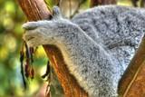 koala paw poster