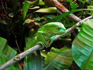 contemplative frog --- waxy monkey tree frog