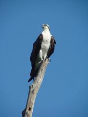 watchful osprey 2