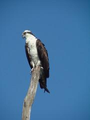 watchful osprey 3