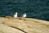 seagulls on pink granite cliffs of acadia poster
