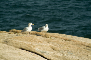 seagulls on pink granite cliffs of acadia